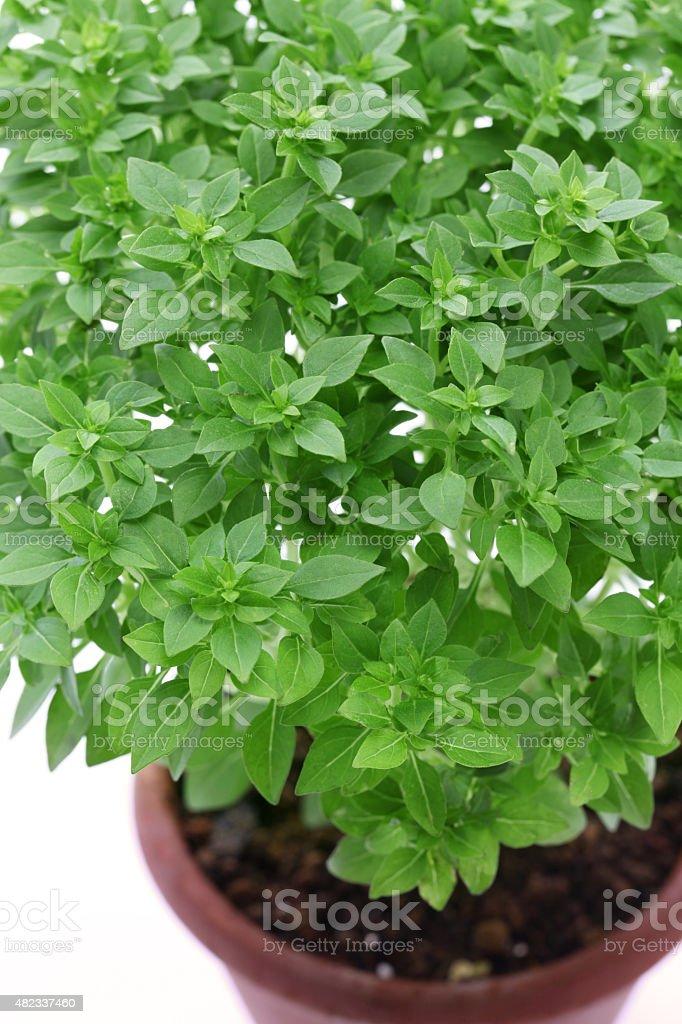 bush basil, greek basil stock photo