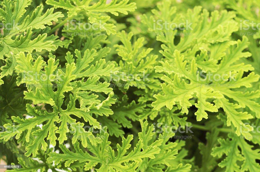 SCENTED GERANIUMS bush close up stock photo
