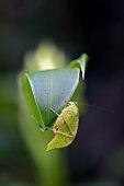 Bush cricket on green leaf