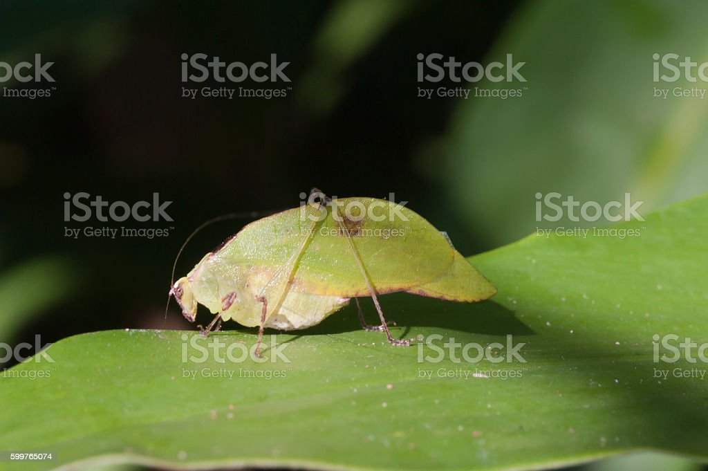 Bush cricket or katydid insect of Tettigoniidae family stock photo