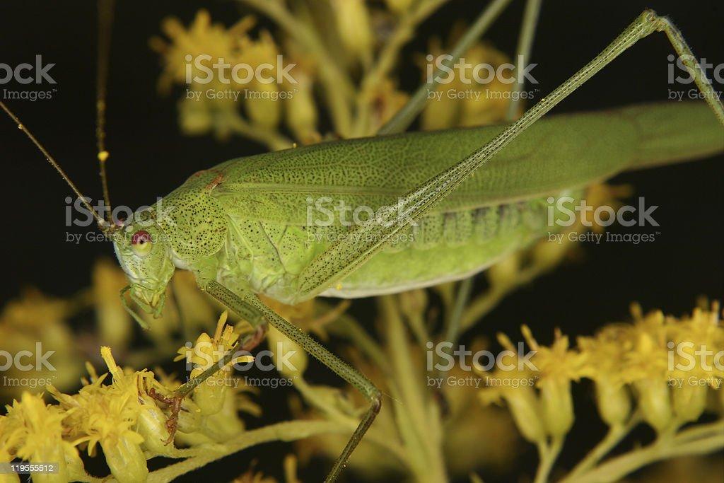 Bush cricket (Phaneroptera falcata) royalty-free stock photo