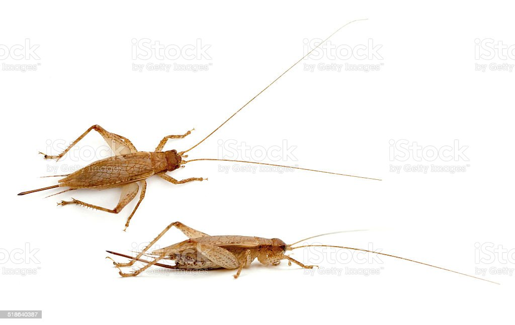 Bush Cricket stock photo