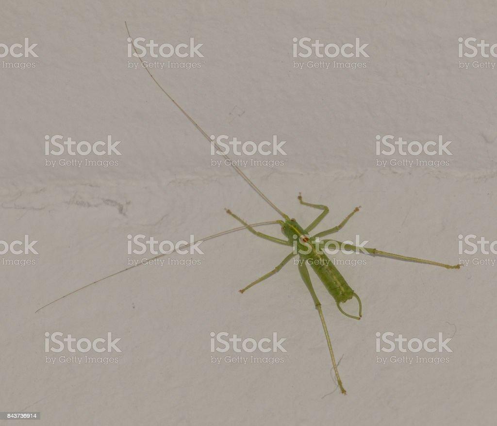 Bush Cricket stock photo