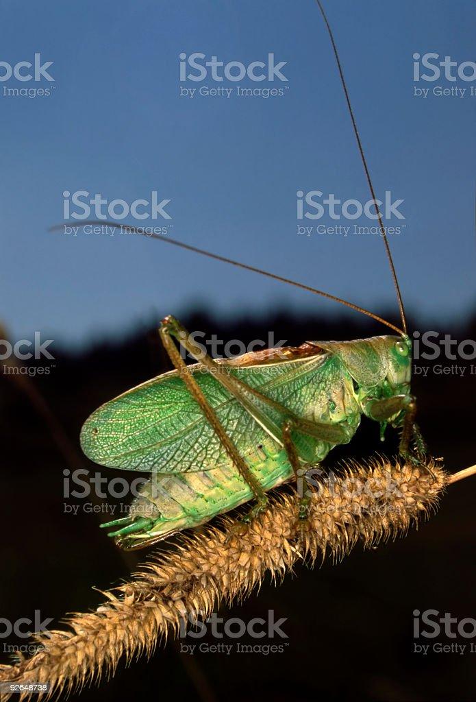Bush Cricket royalty-free stock photo