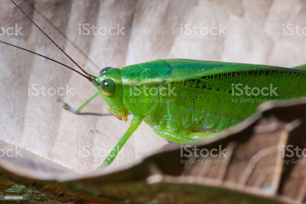 Bush crickets or katydids insect of Tettigoniidae family stock photo