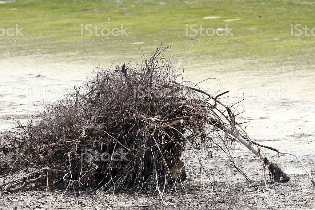 Bush Deadwood on the shore of a mire stock photo