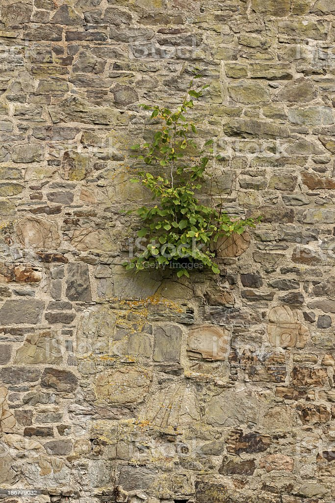 Bush grows out of the wall royalty-free stock photo
