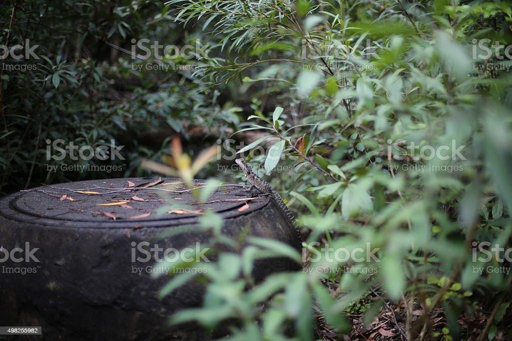 Bush Lizard stock photo
