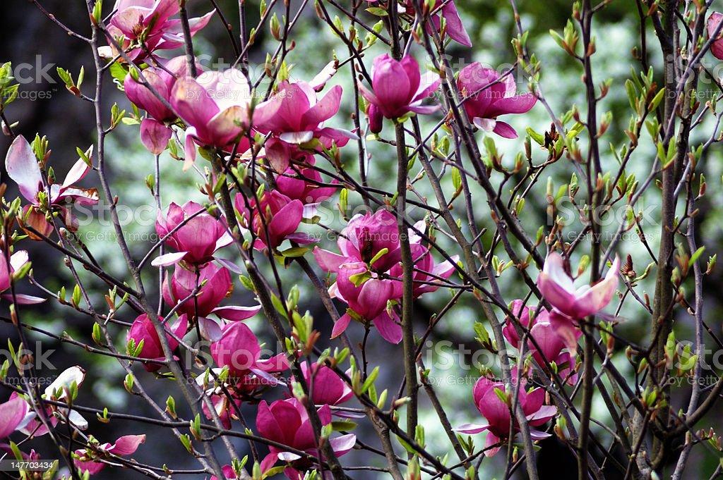 Bush magnolia royalty-free stock photo