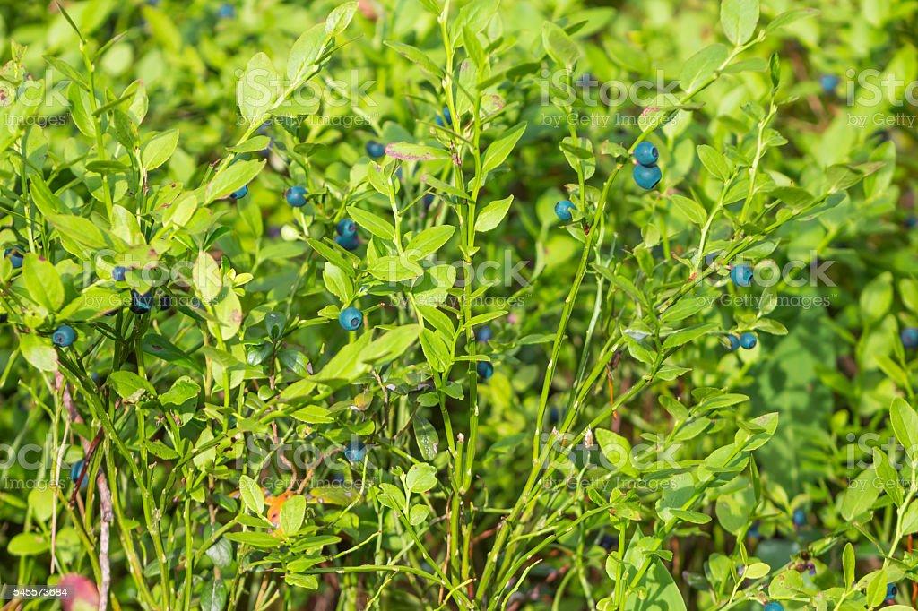 Bush mature berry stock photo