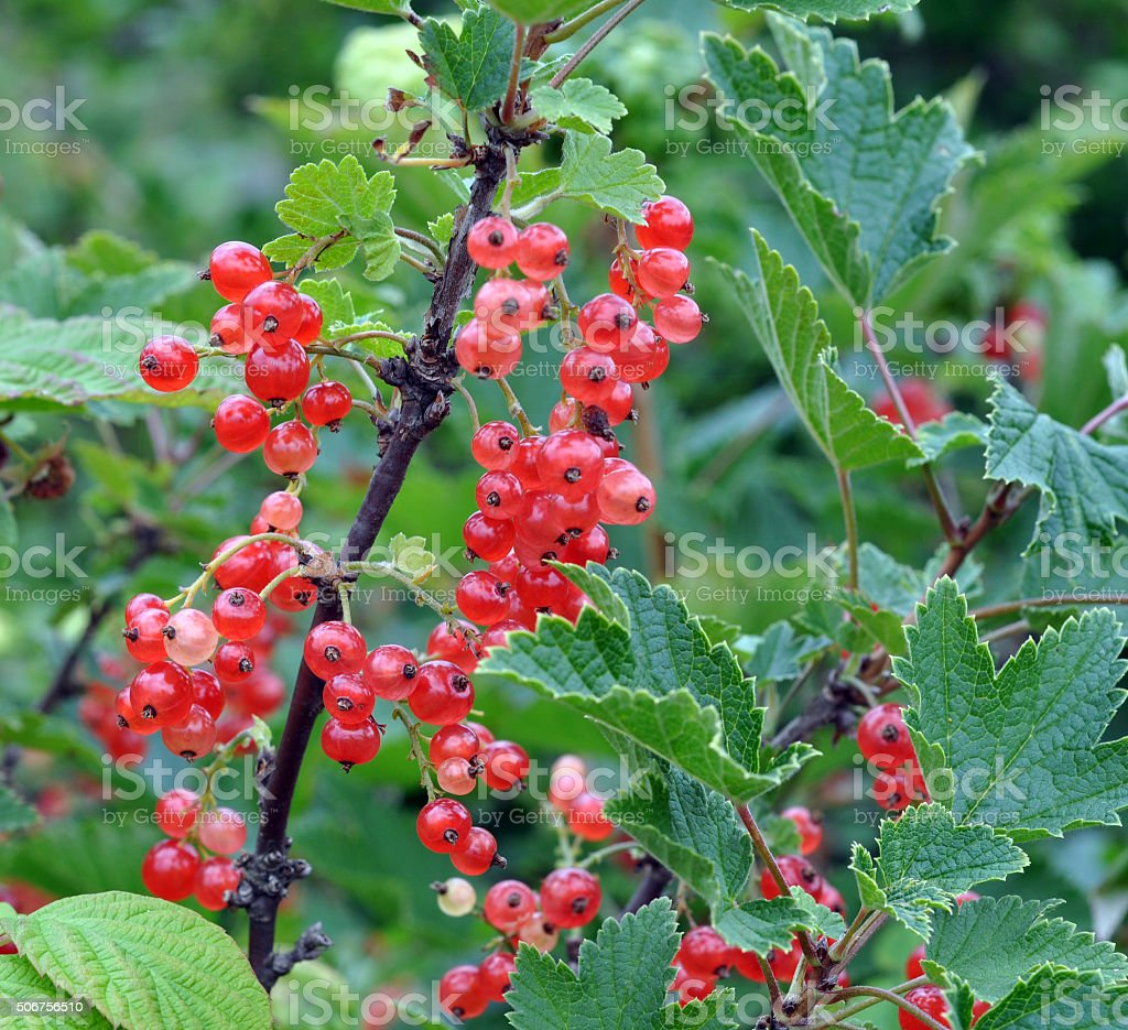 Bush of a red currant stock photo