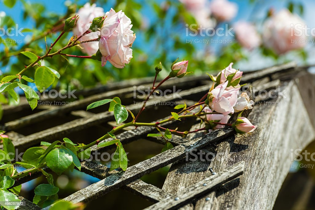 Bush of beautiful roses in a garden stock photo