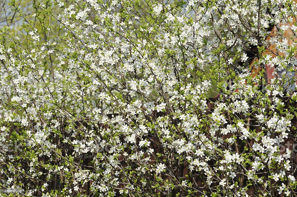 Bush of blackthorn royalty-free stock photo
