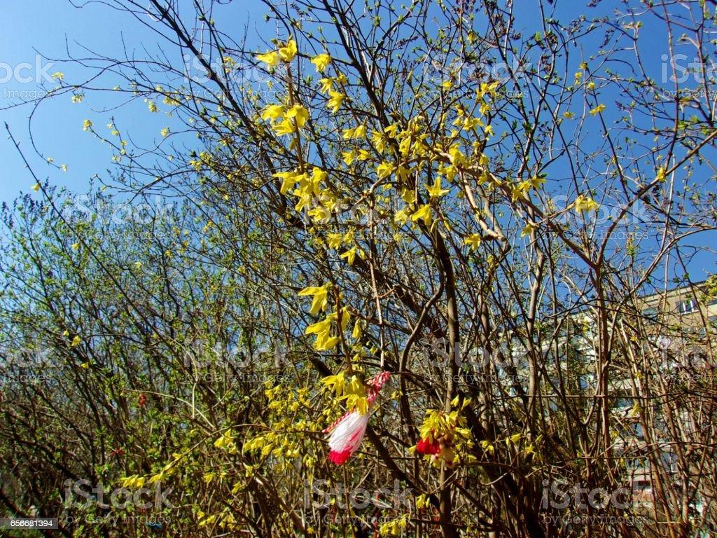 879- A bush of blooming yellow winter jasmine stock photo