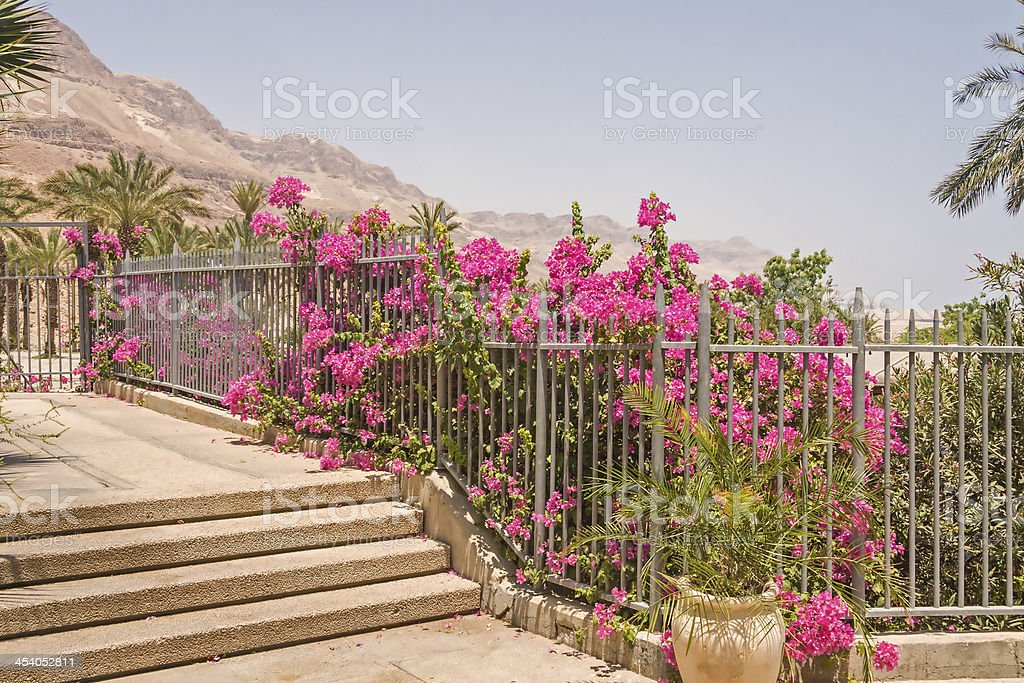 Bush of blossoming bougainvillea flowers behind metal bars fence royalty-free stock photo