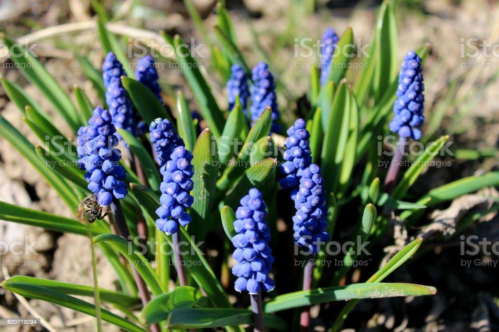 bush of blue flowers of muscari stock photo