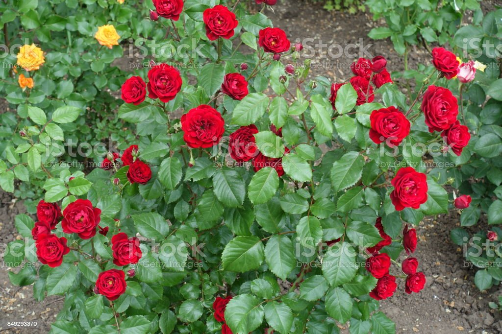 Bush of bright red roses in full bloom stock photo