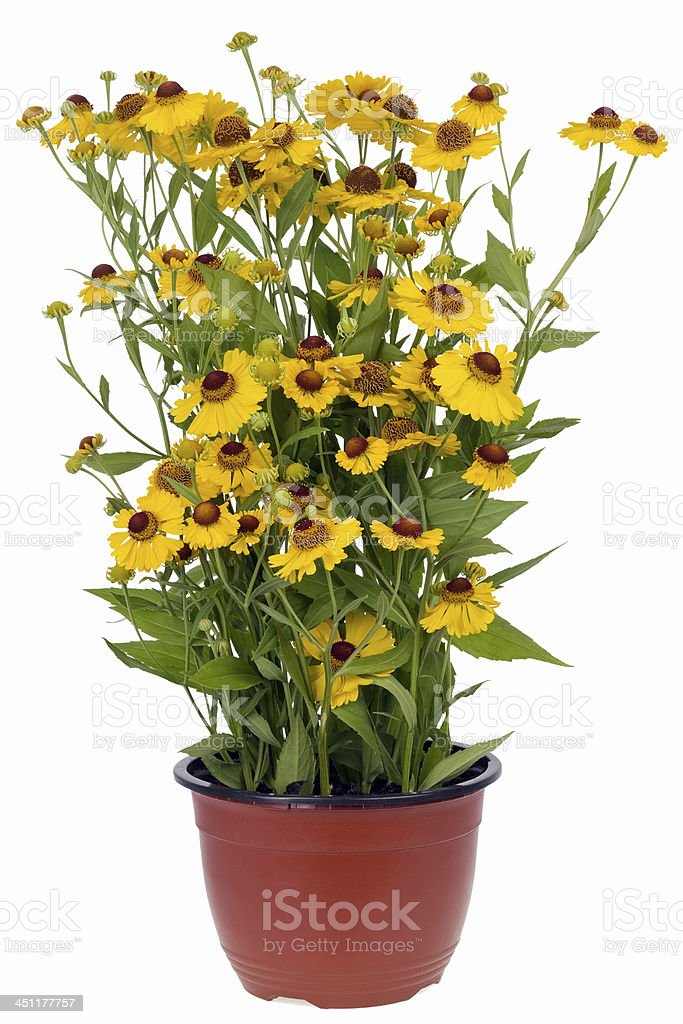 Bush of 'Coreopsis' flowers in pot stock photo