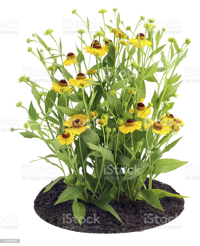 Bush of Coreopsis flowers on bed stock photo