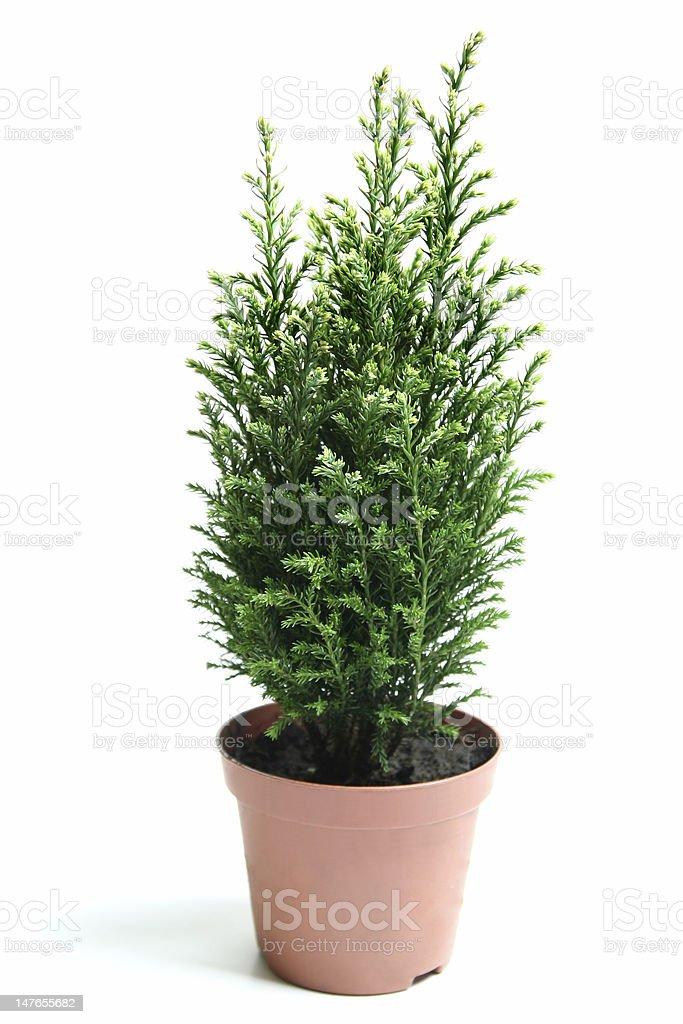 Bush of juniper. royalty-free stock photo