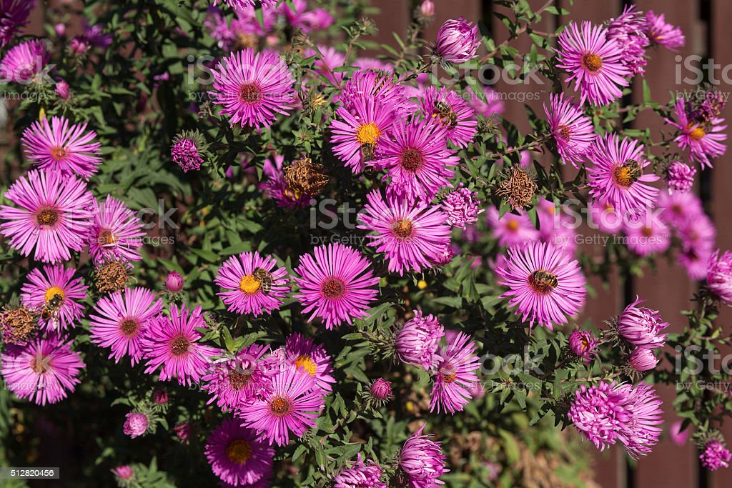 Bush of purple asters sunlit. Flowers and gardens stock photo