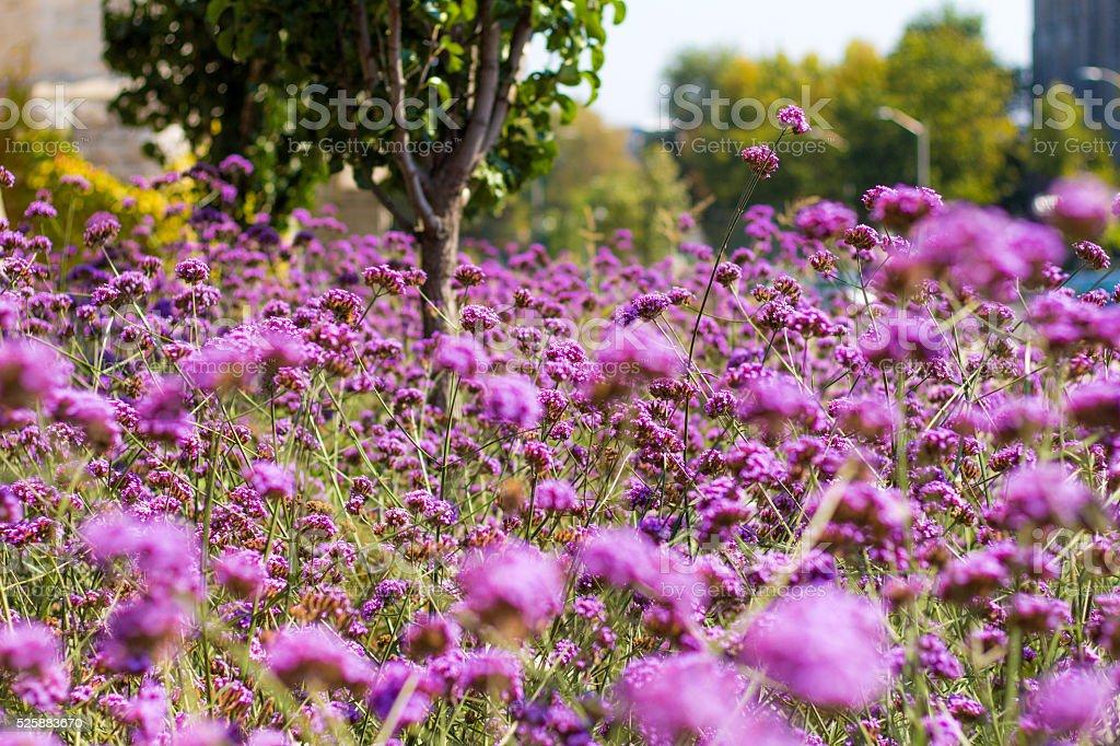 Arbusto de flores lilás foto de stock royalty-free