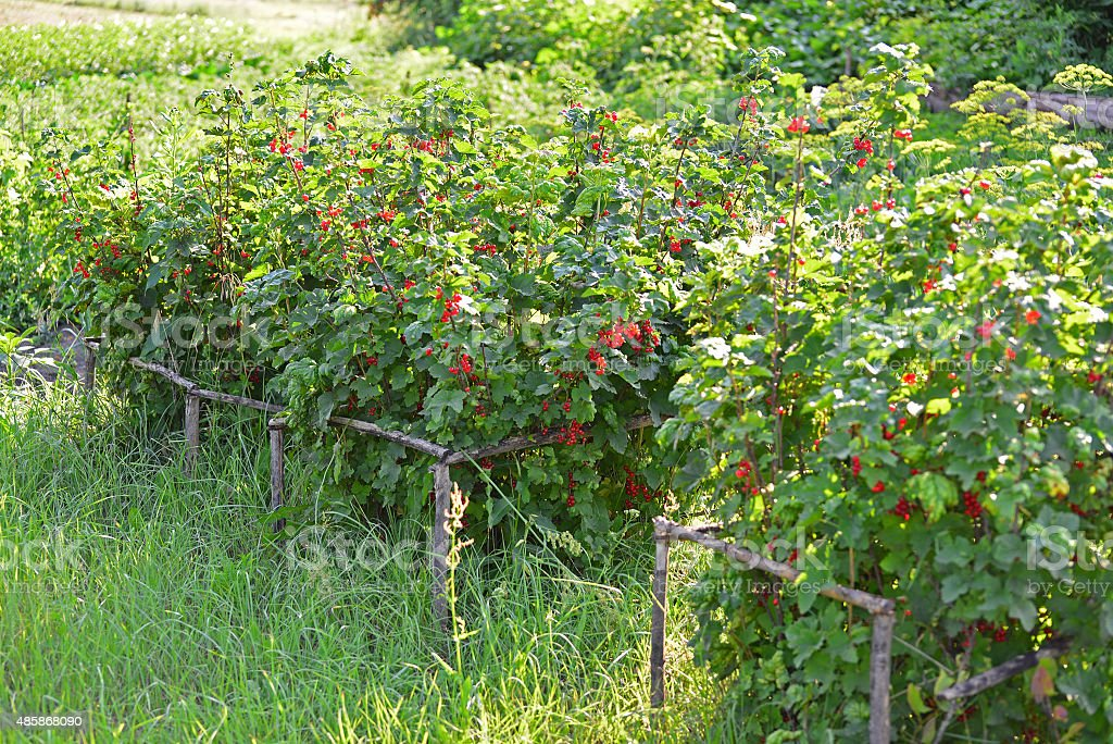 Bush of red currant in summer garden stock photo