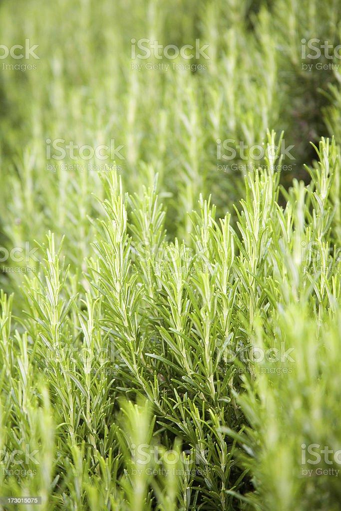 bush of Rosemary growing royalty-free stock photo