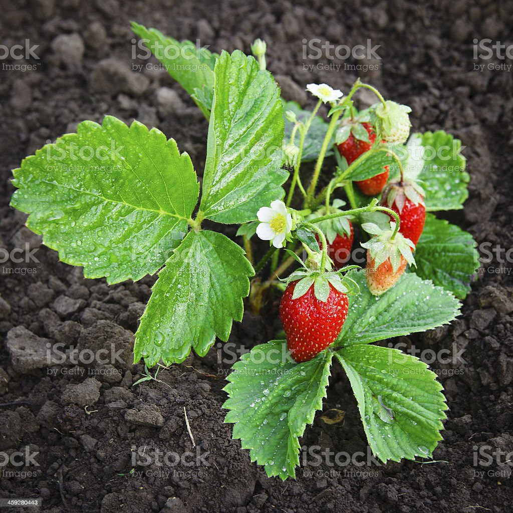 Bush of strawberry stock photo
