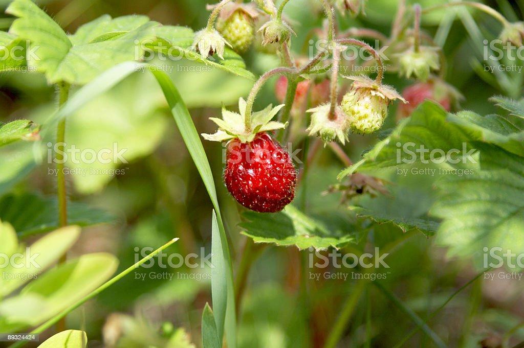 bush of strawberry royalty-free stock photo