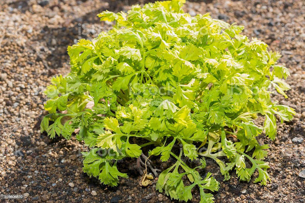 Bush of Tanacetum parthenium leaves lush. stock photo