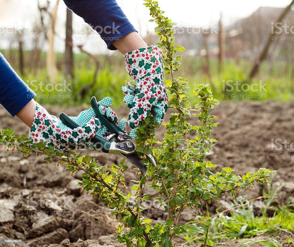 Bush Pruning stock photo