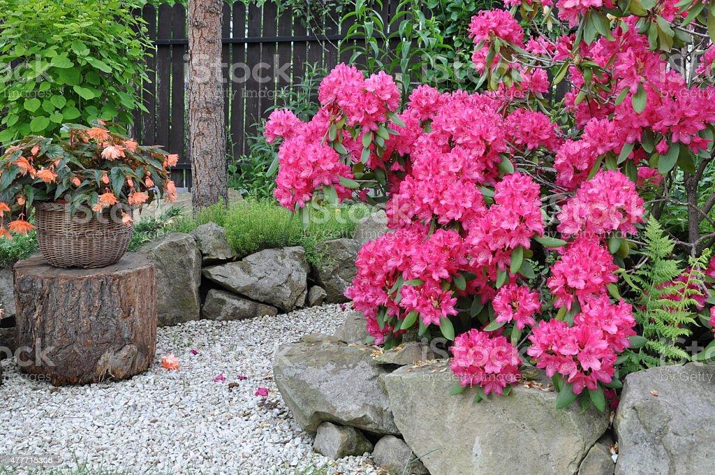 Bush rhododendron in the garden stock photo