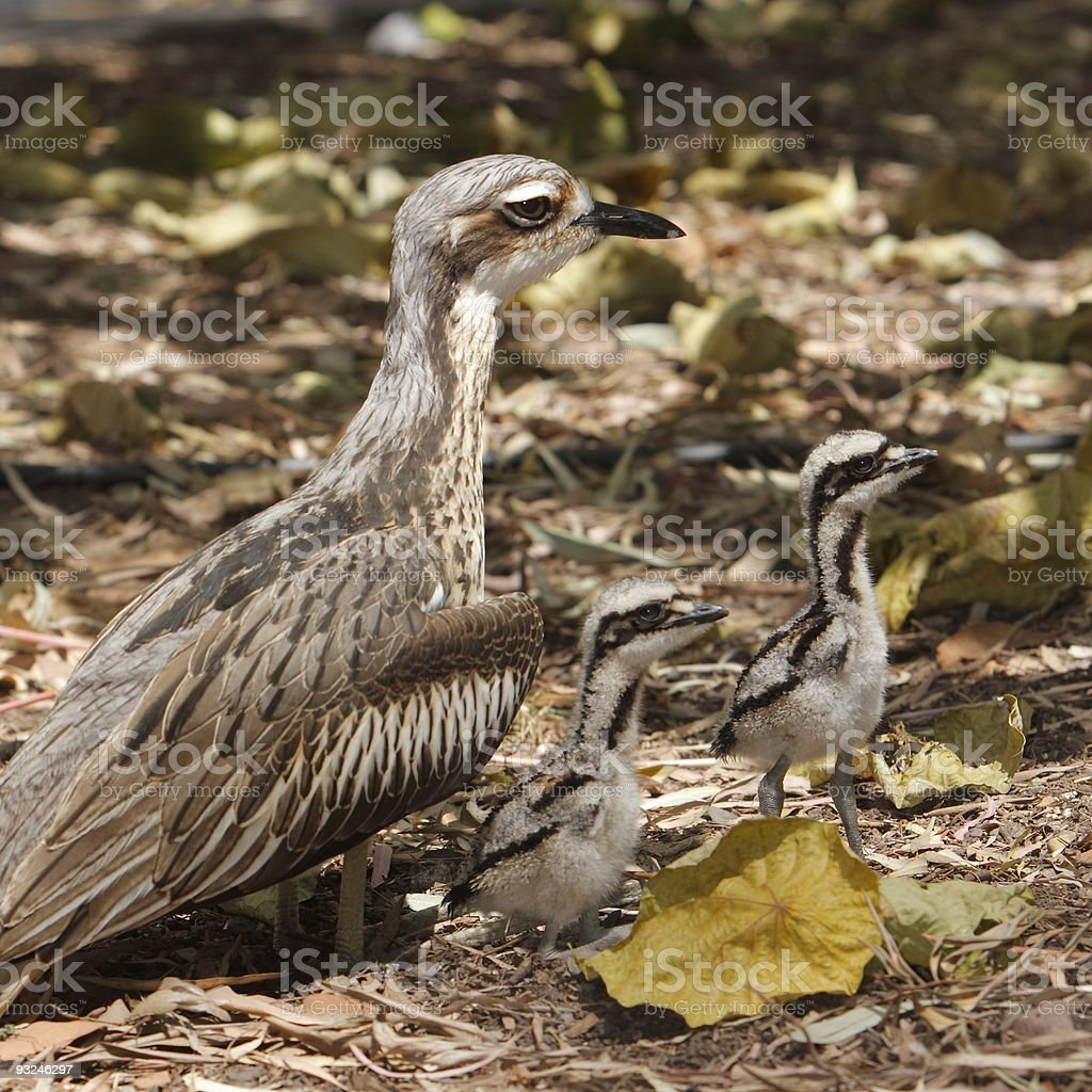 Bush Stone Curlew Family stock photo