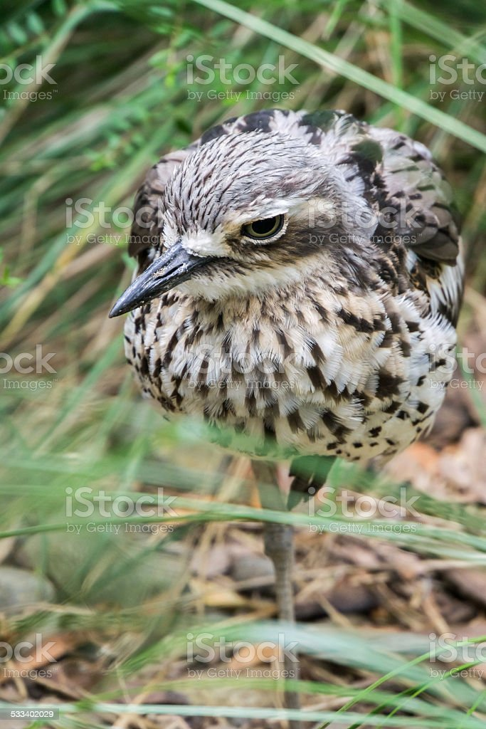 Bush Stone Curlew One Leg stock photo