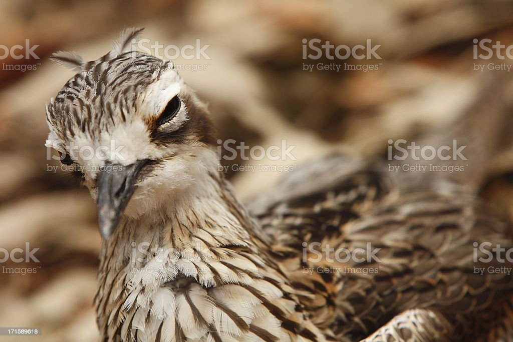 Bush Stone Curlew stock photo