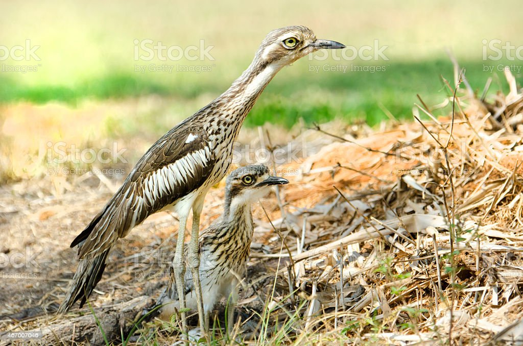 Bush Stone-curlew, Australia stock photo