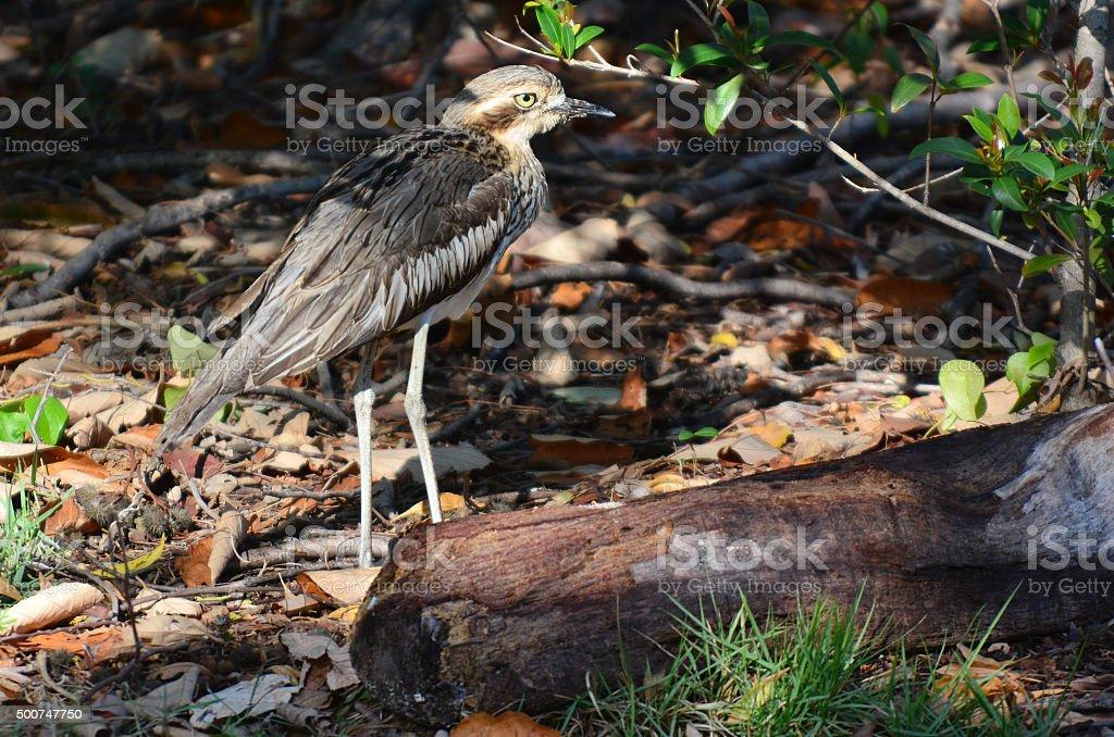 Bush Stone-curlew stock photo