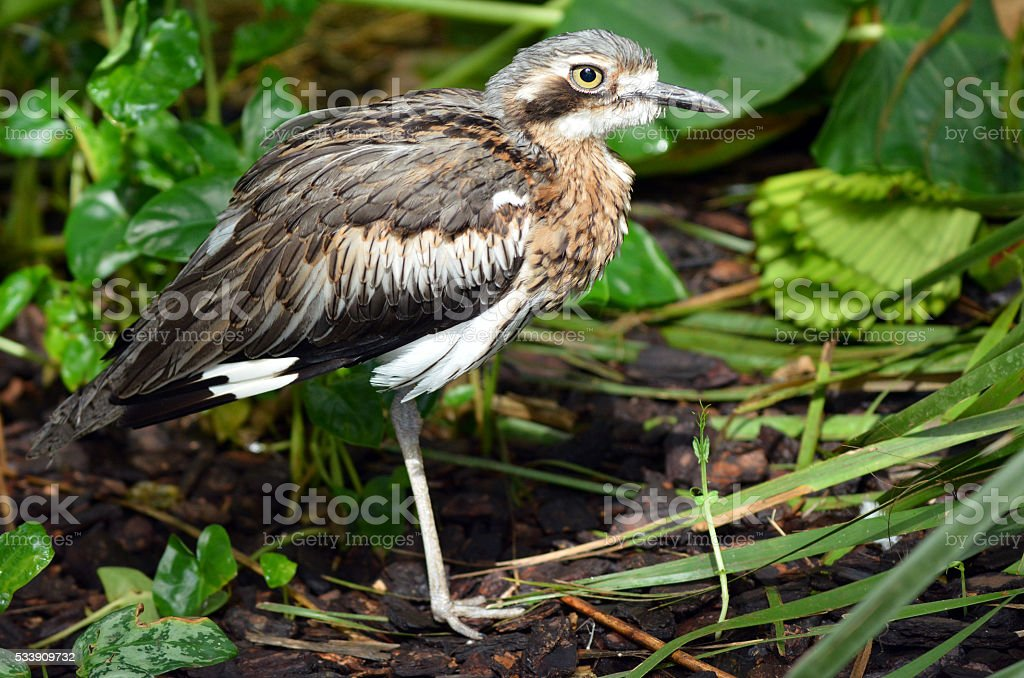 Bush Stone-curlew  profile side view stock photo
