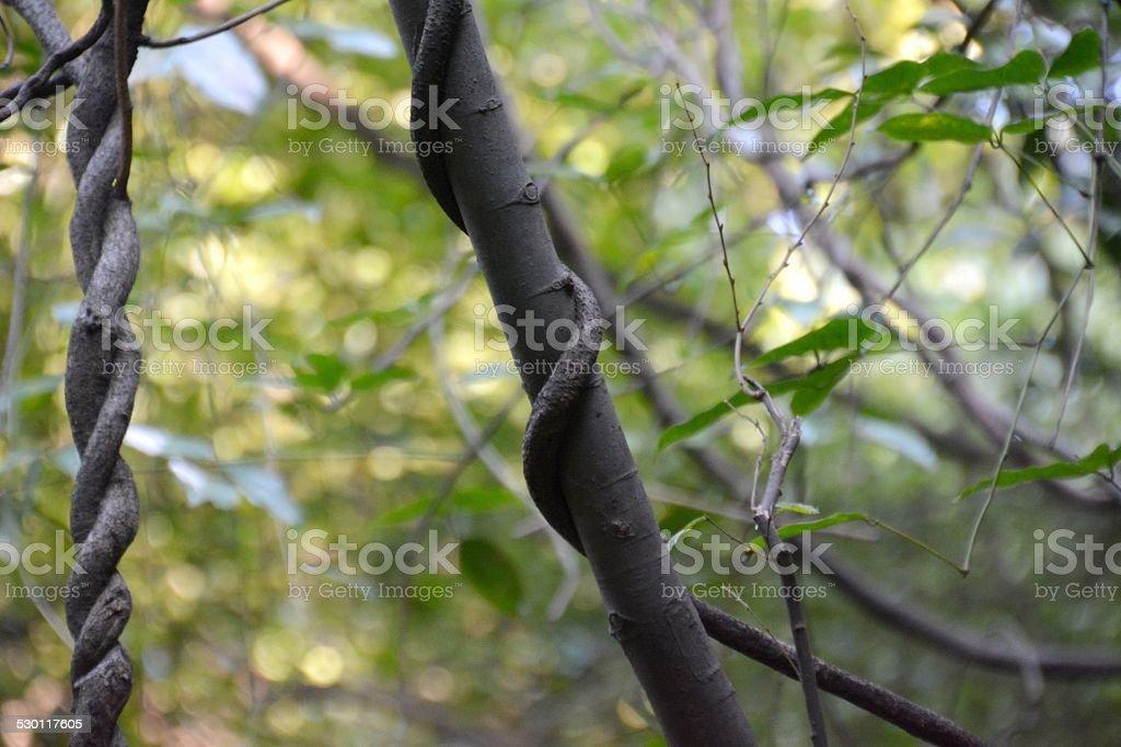 Bush, Strangler Fig tree on flying peak at Lingyin temple stock photo