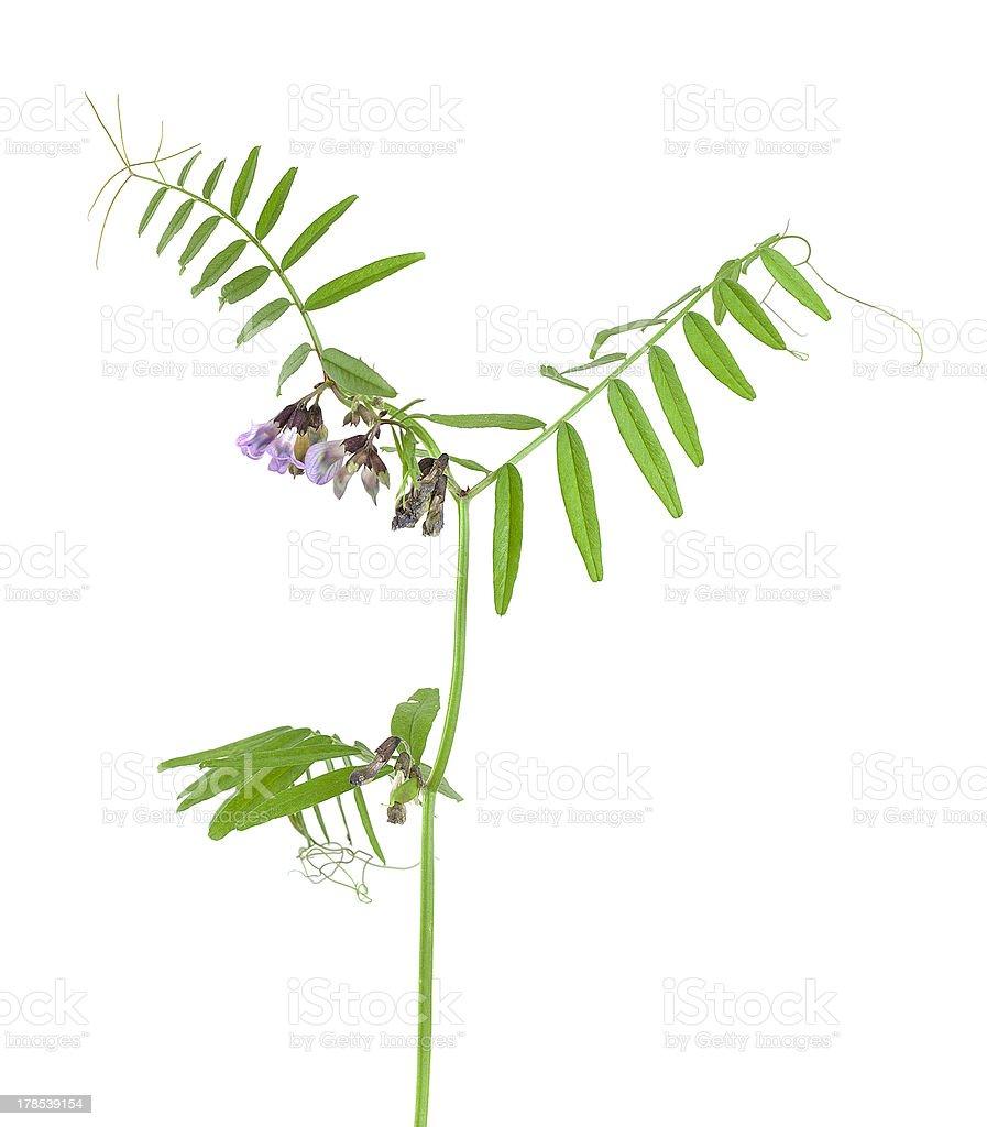 Bush vetch, Vicia sepium isolated on white background royalty-free stock photo