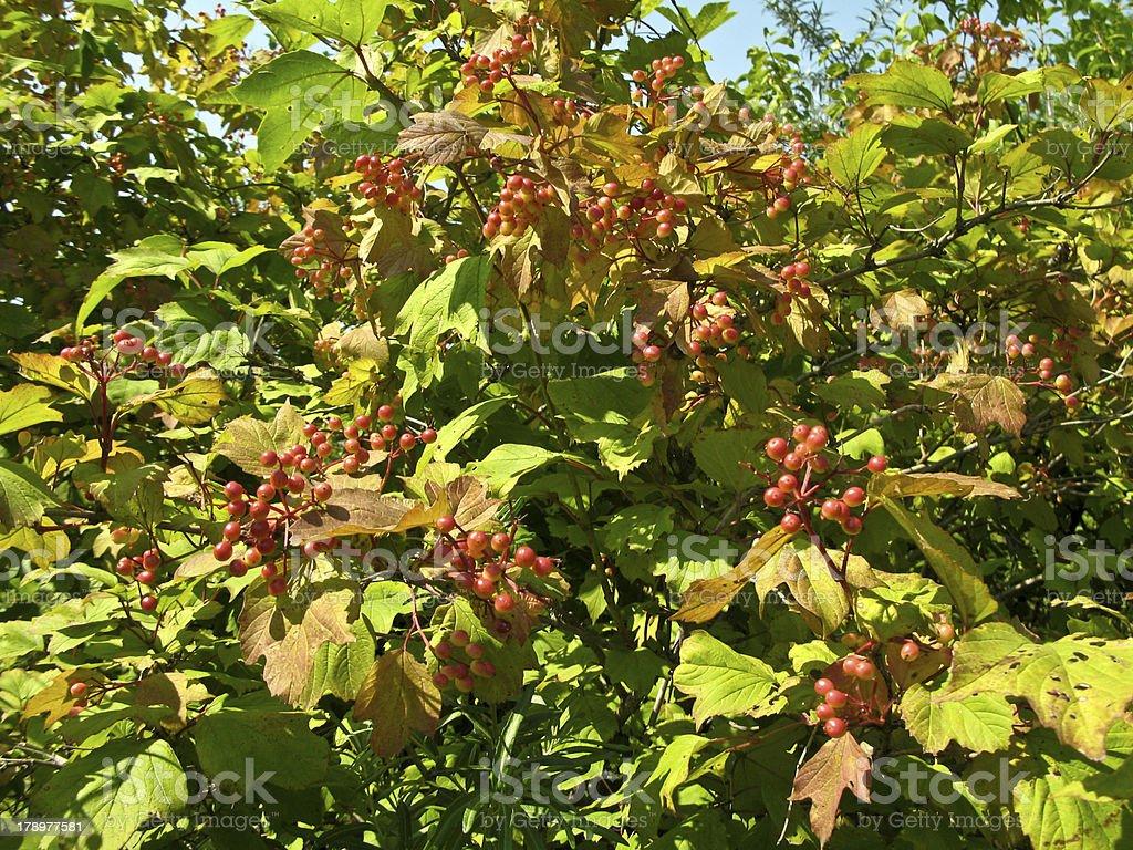 Bush viburnum royalty-free stock photo