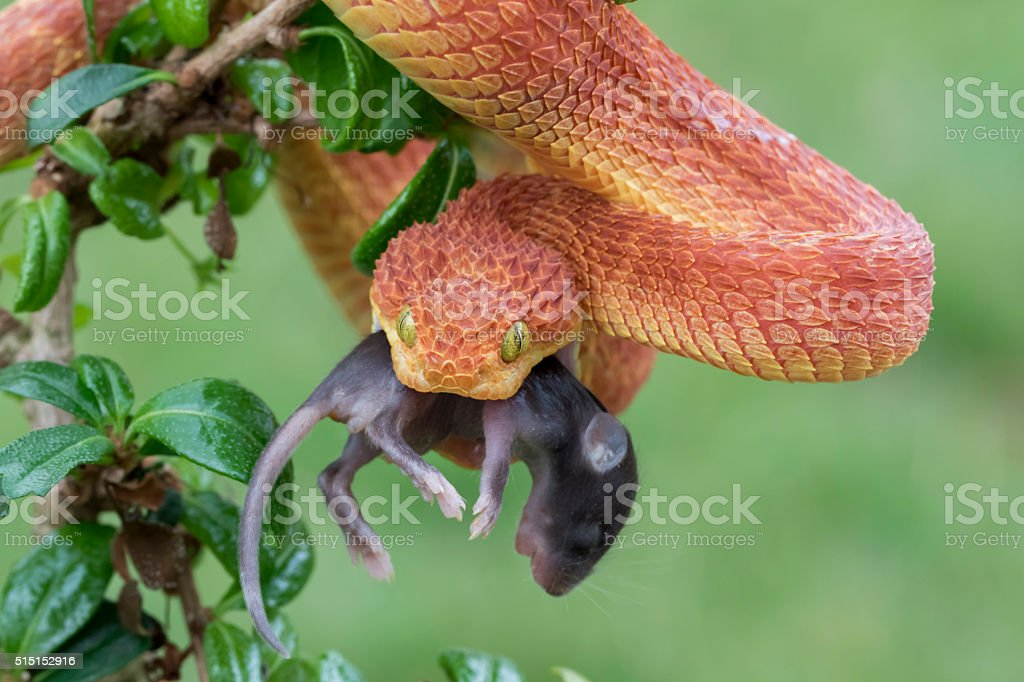 Bush Viper with Prey (Mouse) stock photo