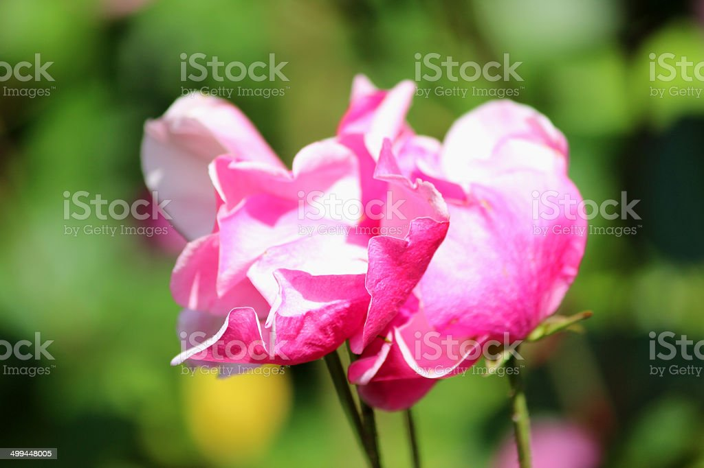 Bush with bright pink roses and blurred garden background leaves royalty-free stock photo