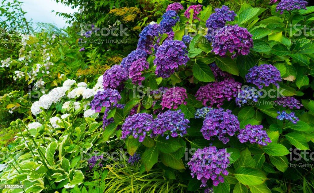 A bush with purple hydrangea flowers. stock photo