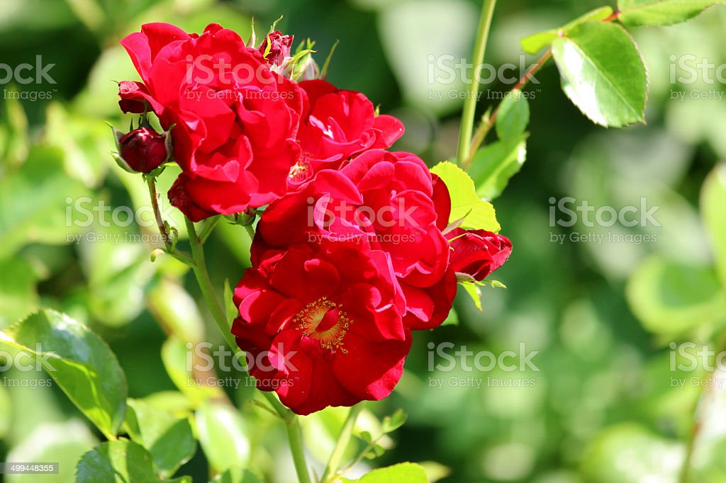 Bush with red roses with blurred garden background of leaves royalty-free stock photo