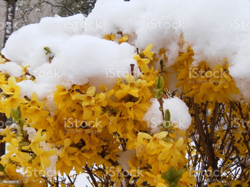 Bush with yellow leaves covered snow stock photo