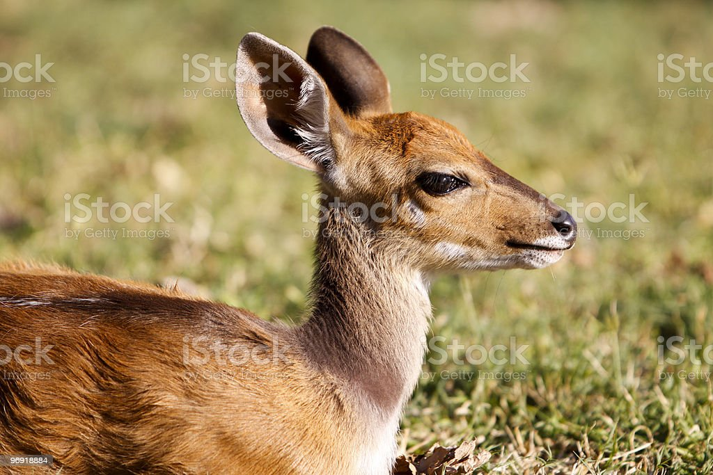 Bushbuck in Kruger Park, South Africa stock photo