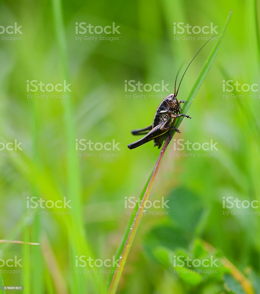 bush-cricket insect close up on a grass stock photo