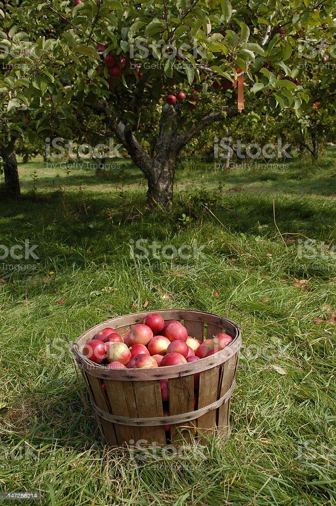 Busheled apples royalty-free stock photo